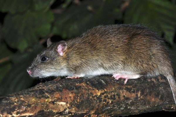 лесные крысы фото такой