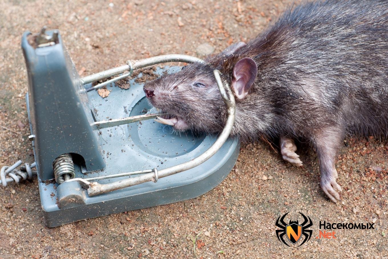 картинка боюсь крыс орел известен