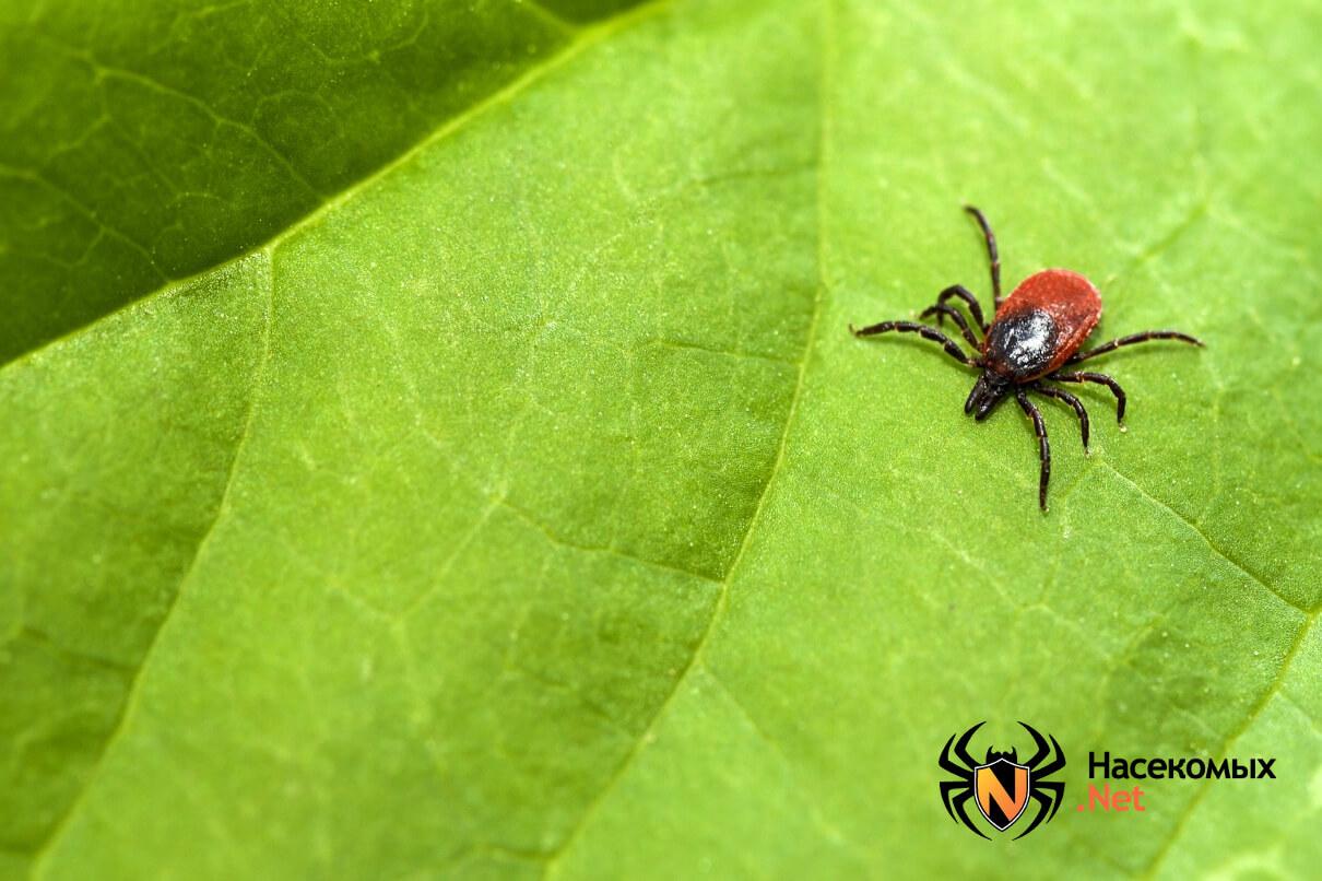 Картинки насекомых клещей