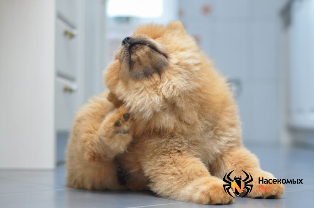 Блоха собачья фото