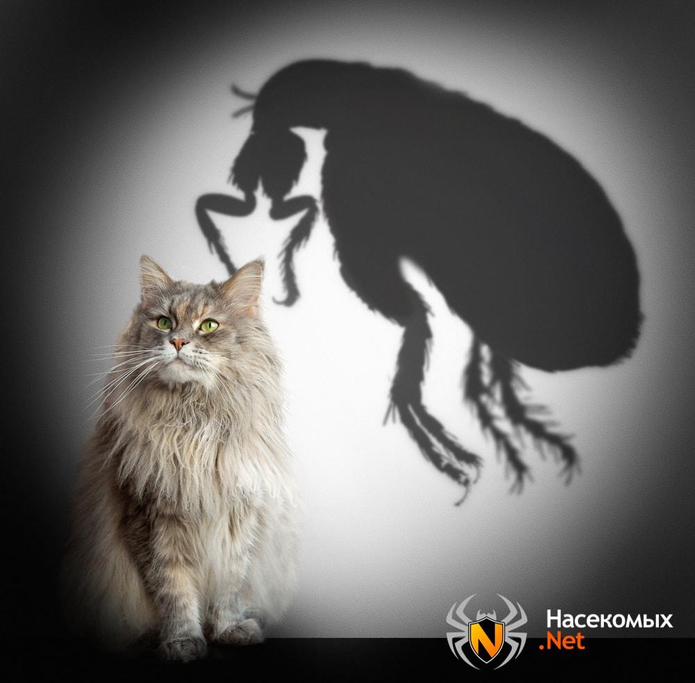 Виды блох у кошек и котов
