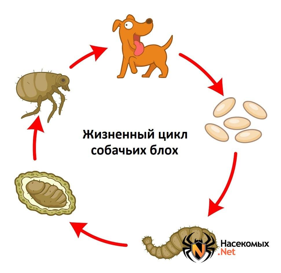 Жизненный цикл собачьих блох