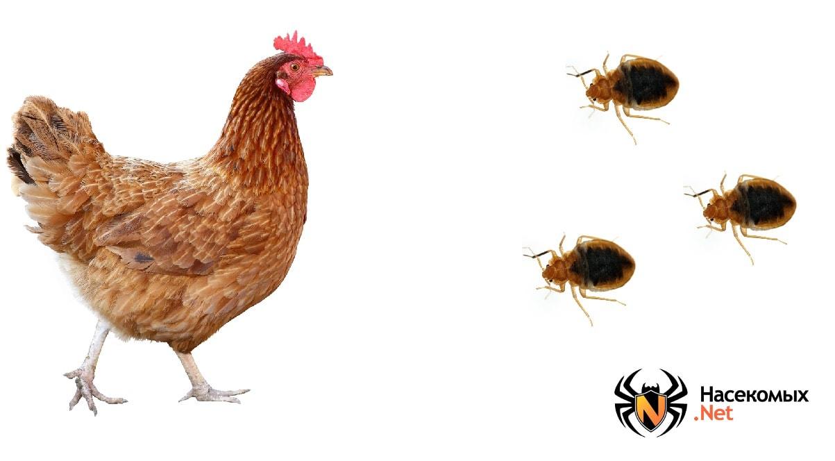 Клопы кусают куриц