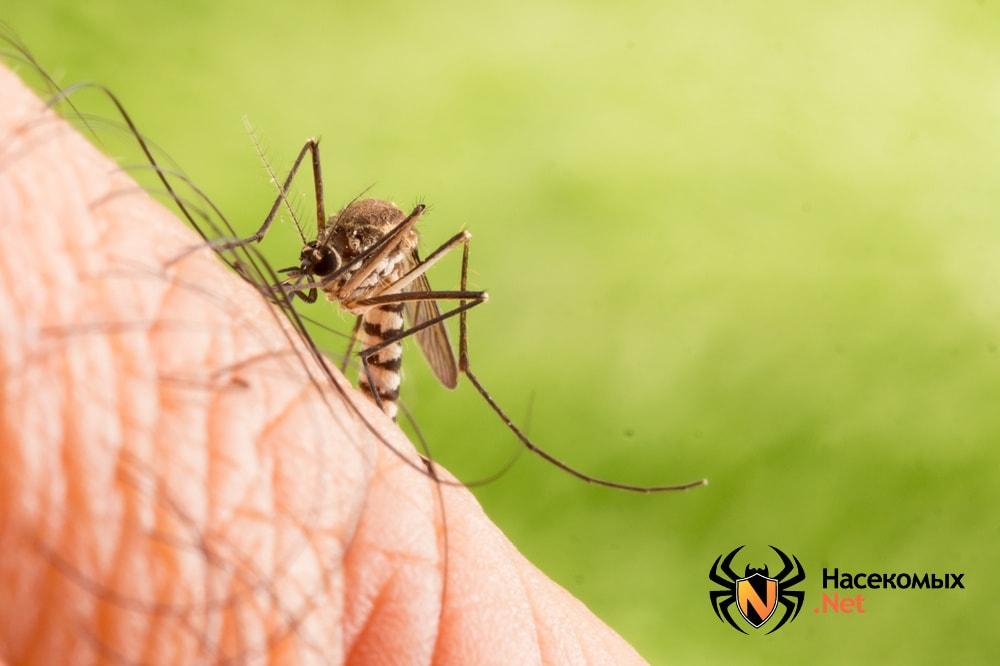 Комар на кожном покрове сосет кровь после укуса