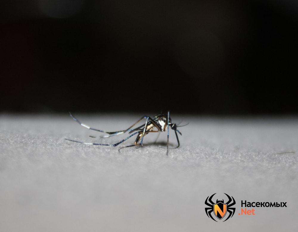 Комар toxorhynchites