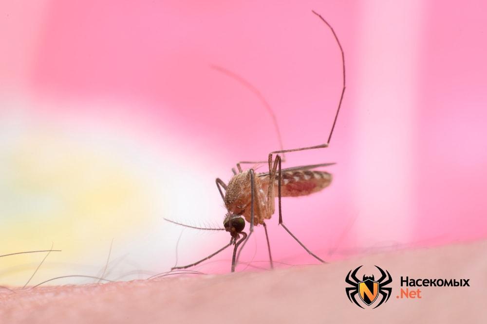 Простой комар кулекс