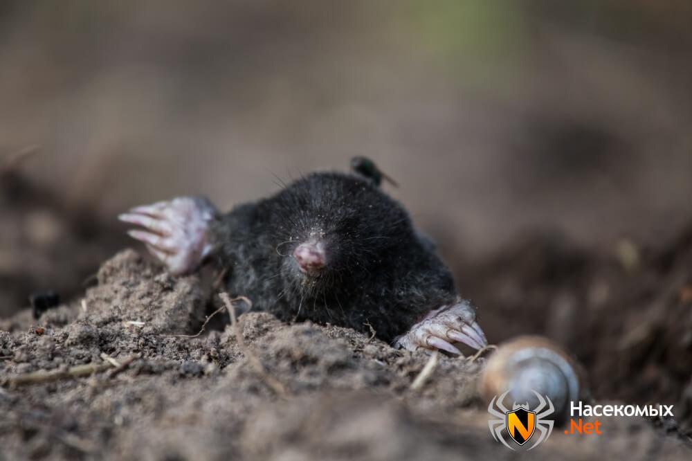 Фото черного крота