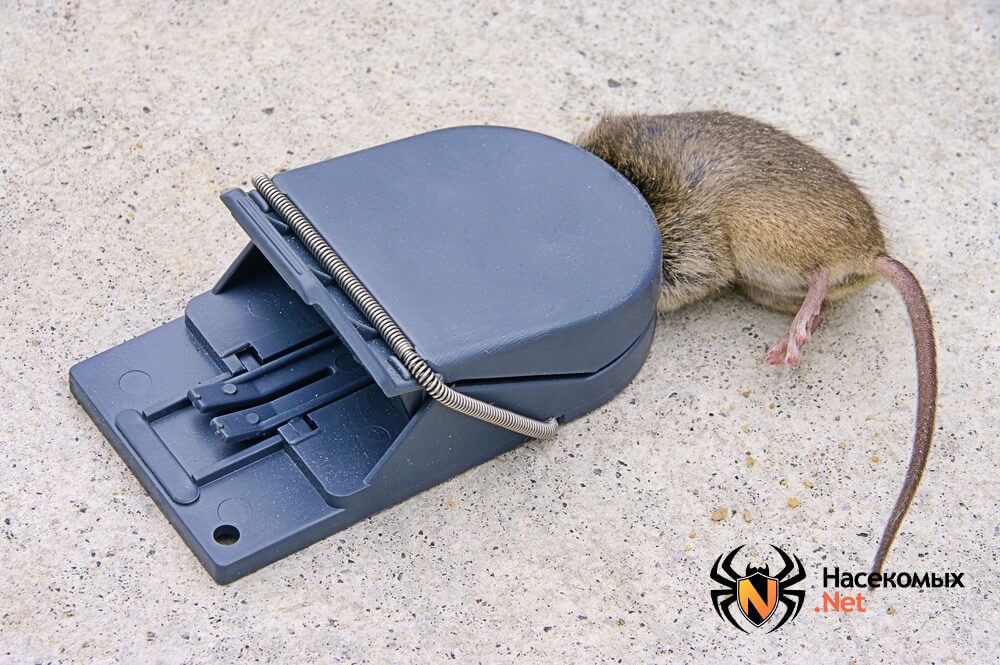 Чем травить крыс фото