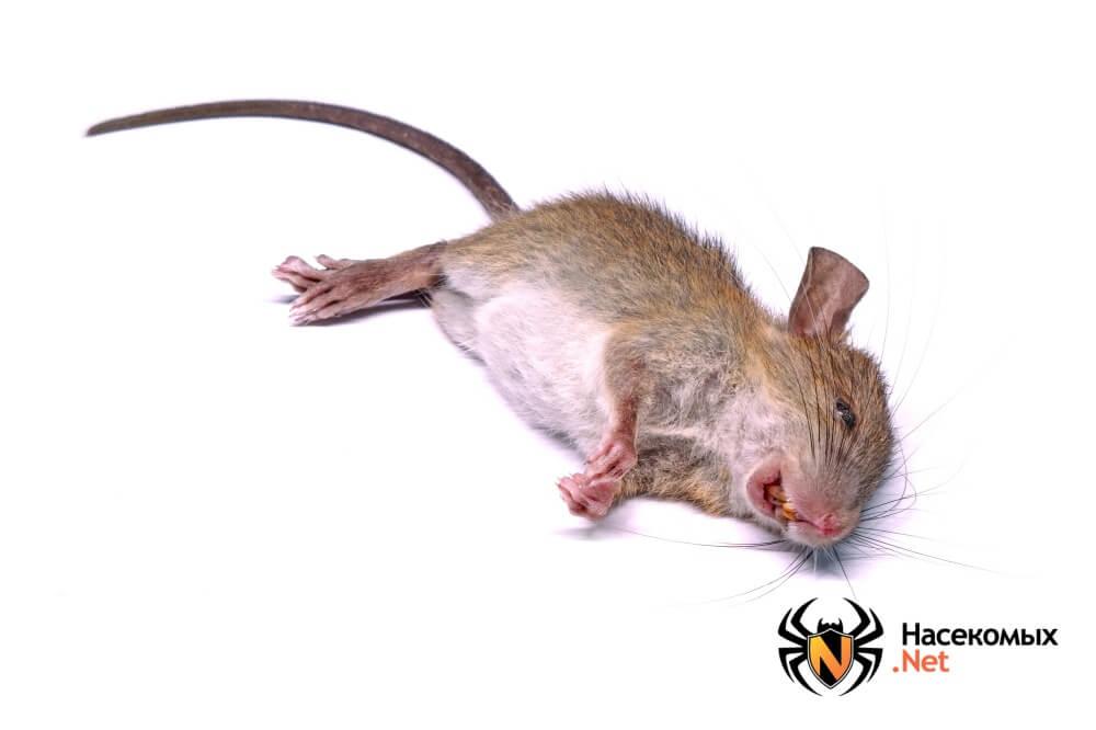 Как бороться с крысами фото