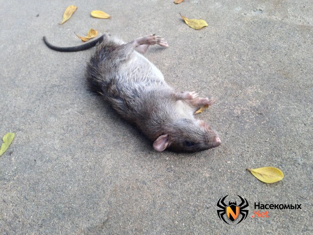 Как избавиться от крыс фото