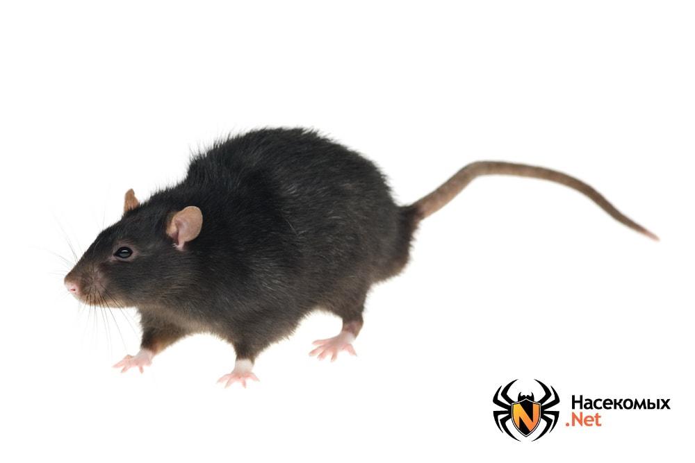 Как выглядит черная крыса
