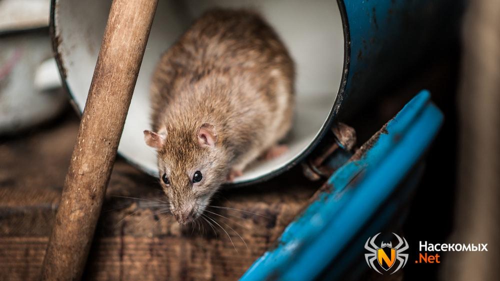 Как выглядит домашняя крыса