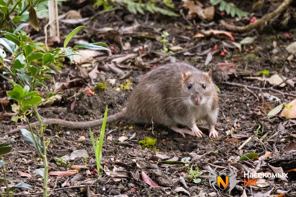 Крыса в огороде