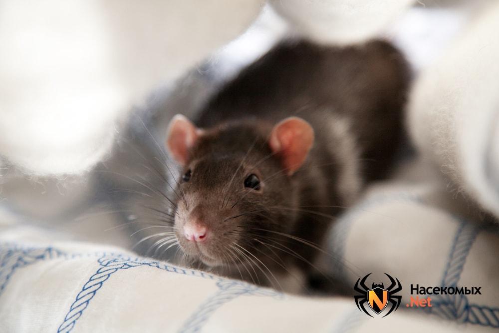 Крысы атакуют людей