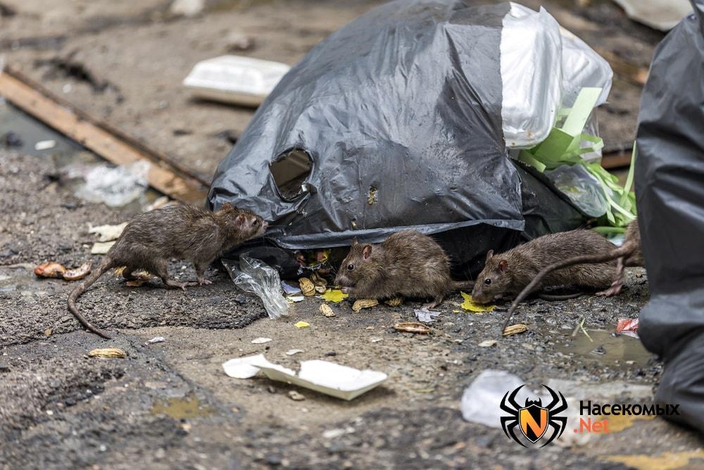 Крысы возле мусора