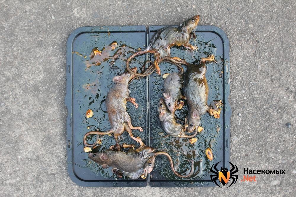 Липкая ловушка для крыс