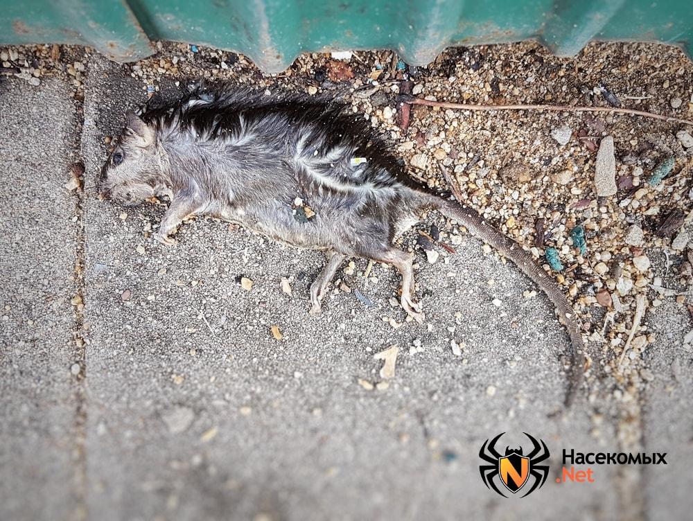 Мертвая крыса фото