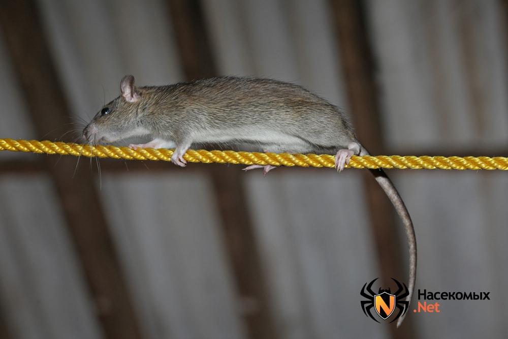 Откуда крысы в квартирах