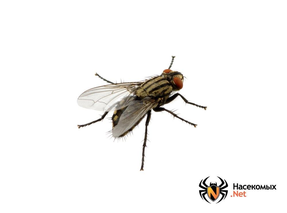 Фото комнатной мухи