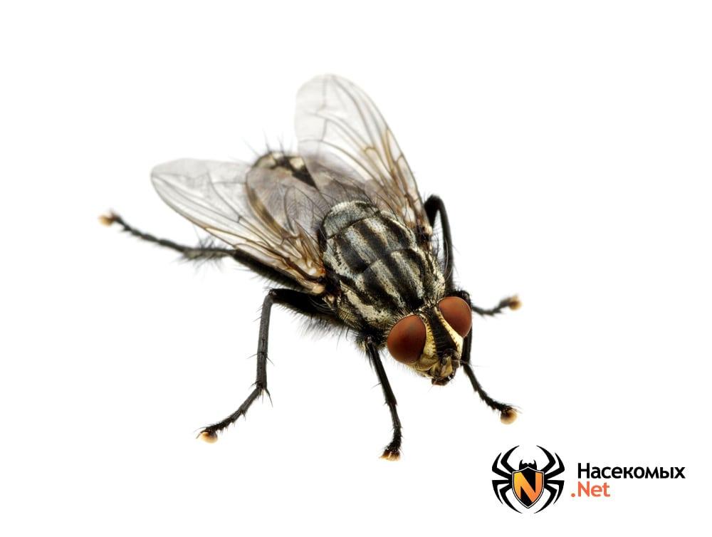 Мясная серая муха