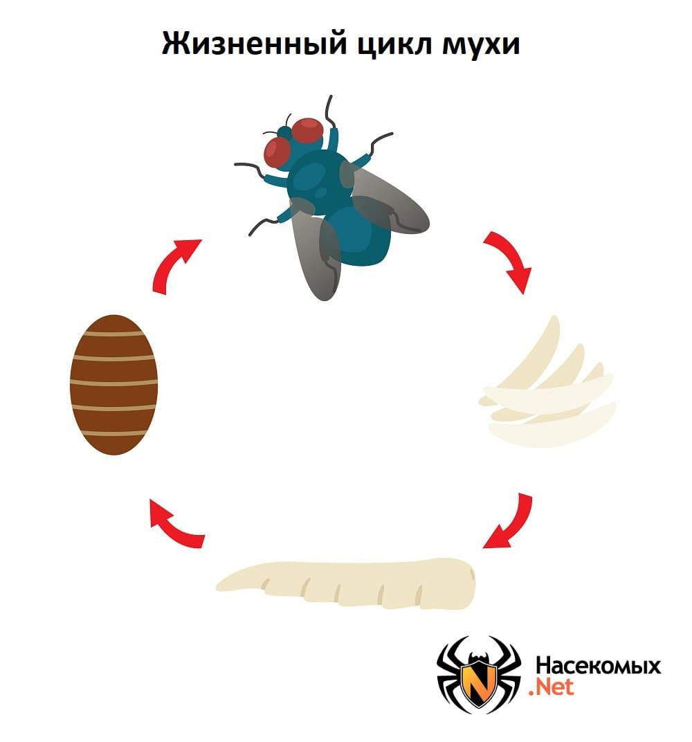 Жизненный цикл мухи