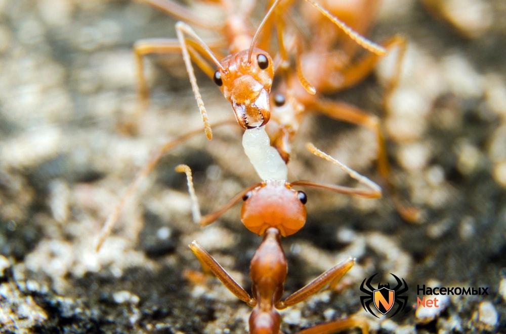 Фараоновые муравьи едят личинки