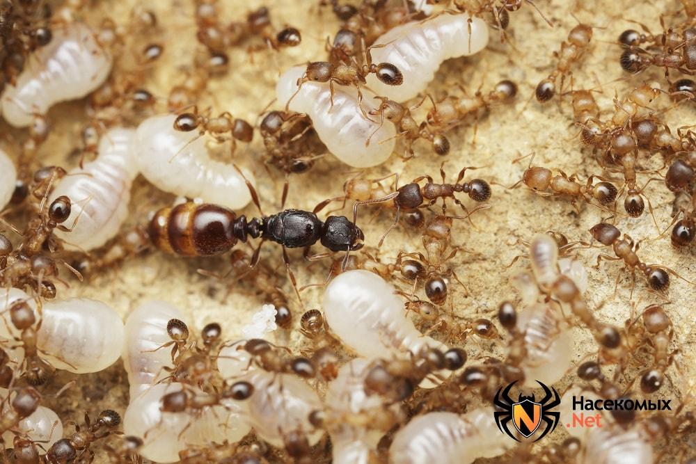 Как выглядит муравьиная матка