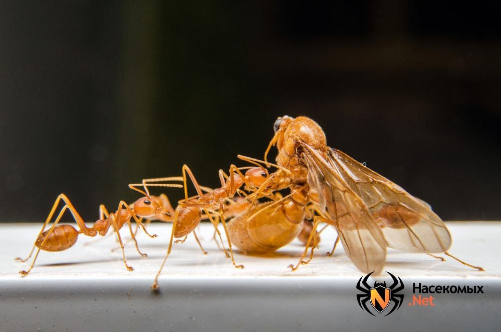 Как выглядят фараоновые муравьи