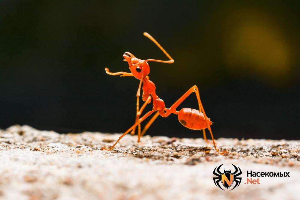 Огненный муравей фото