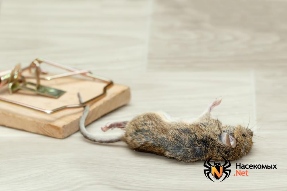 Чем травить мышей фото