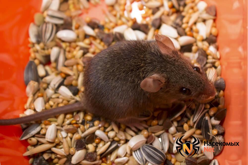 Чем травить мышей
