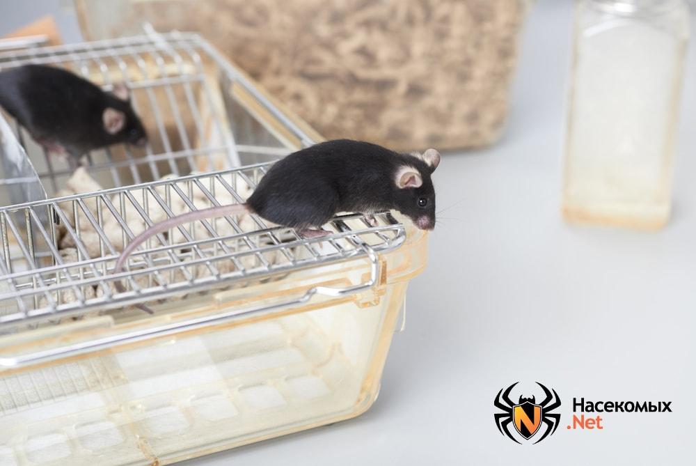 Домашняя черная мышь