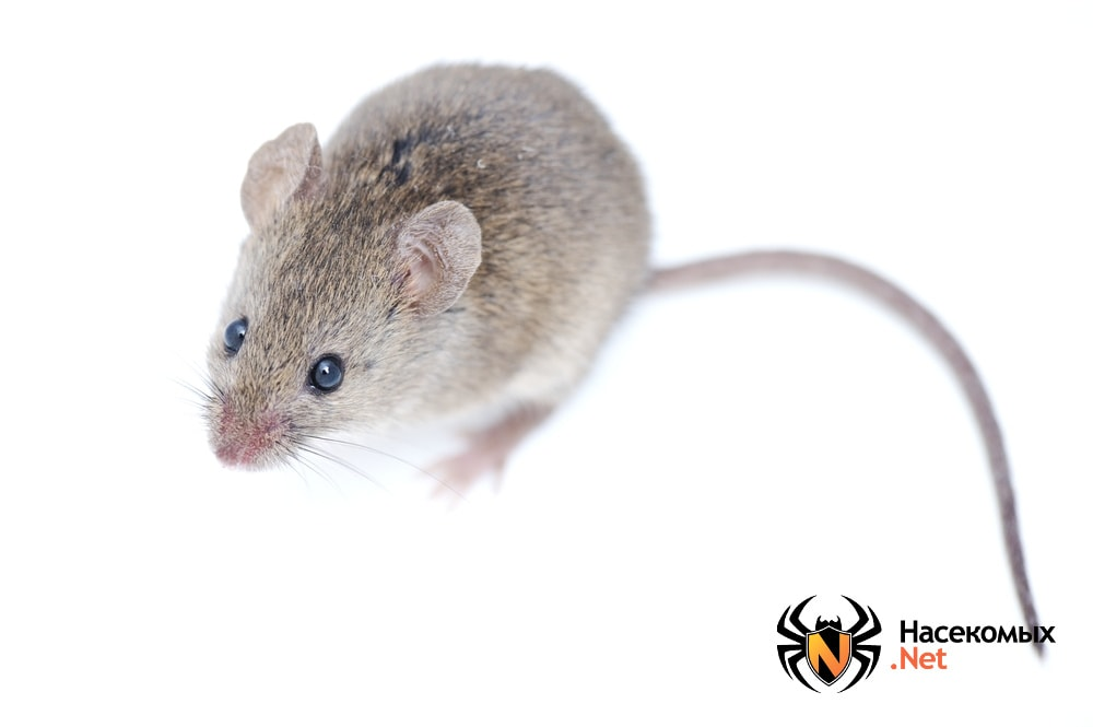 Как выглядит мышь