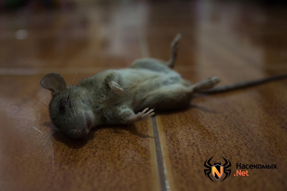 Мертвая мышь на полу