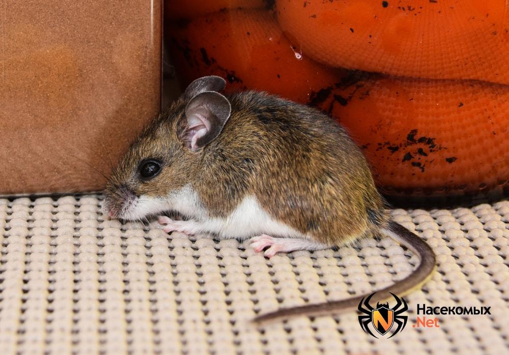 Мышь на столе рядом с продуктами