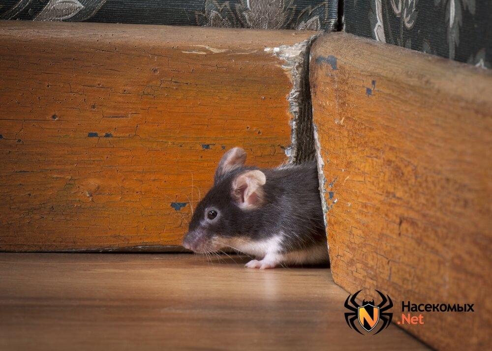 Народные методы борьбы с мышами фото
