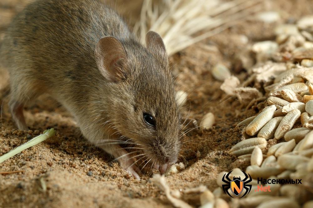 Полевые мыши фото
