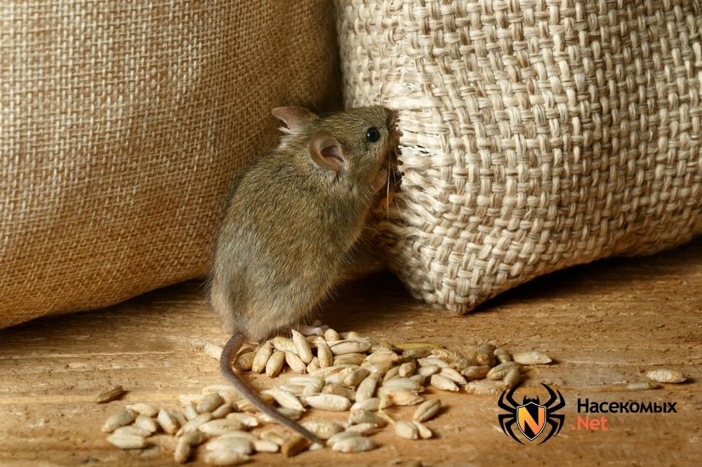 Полевые мыши как выглядят