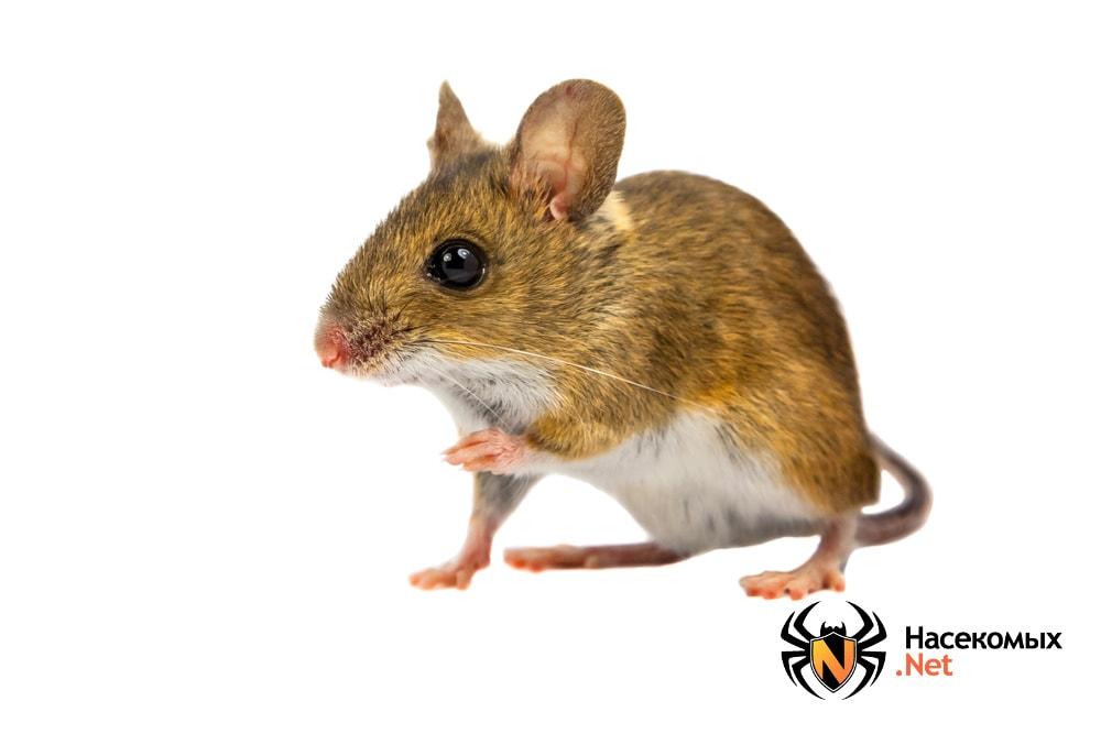 Рыжая мышь
