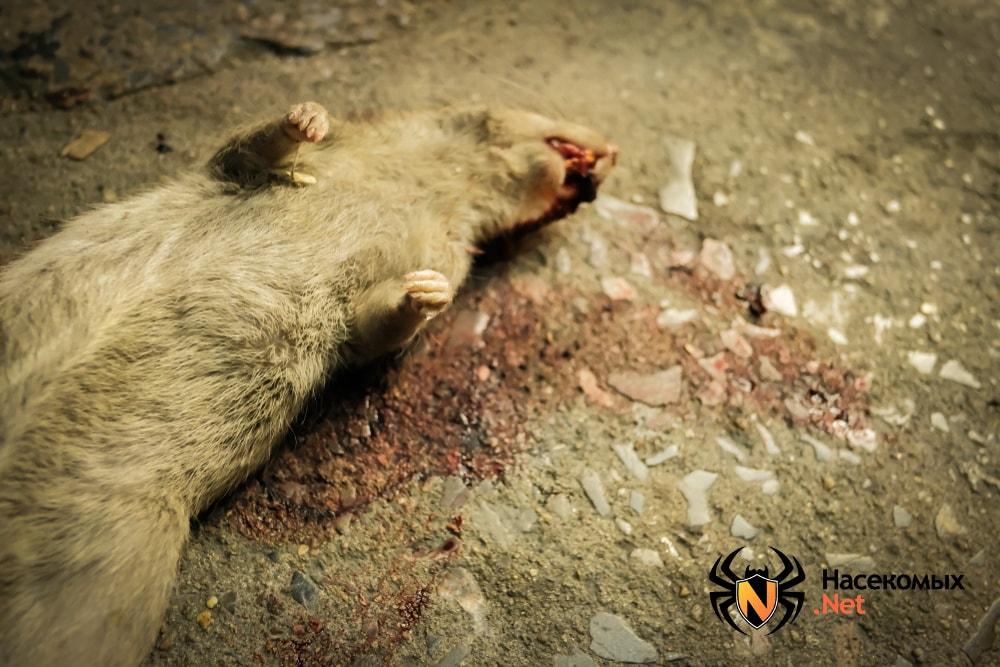 Убитая мышь