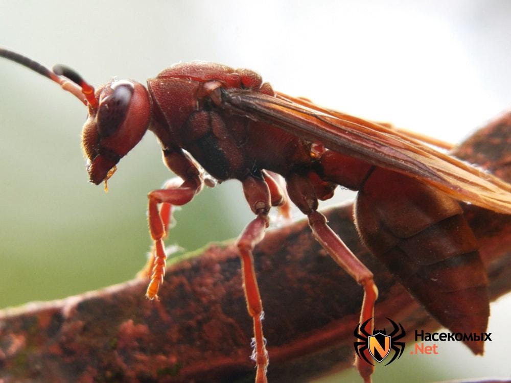 Как выглядят дикие осы