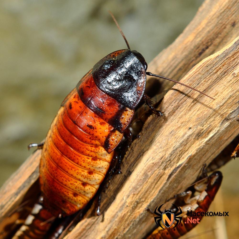 Австралийский таракан