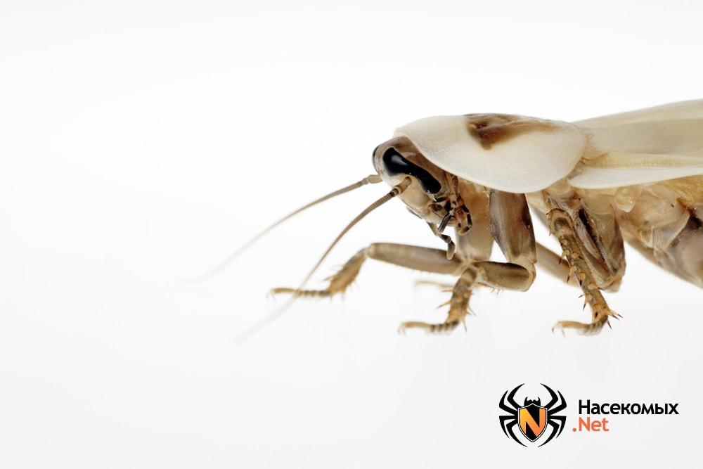 Белый таракан взрослый