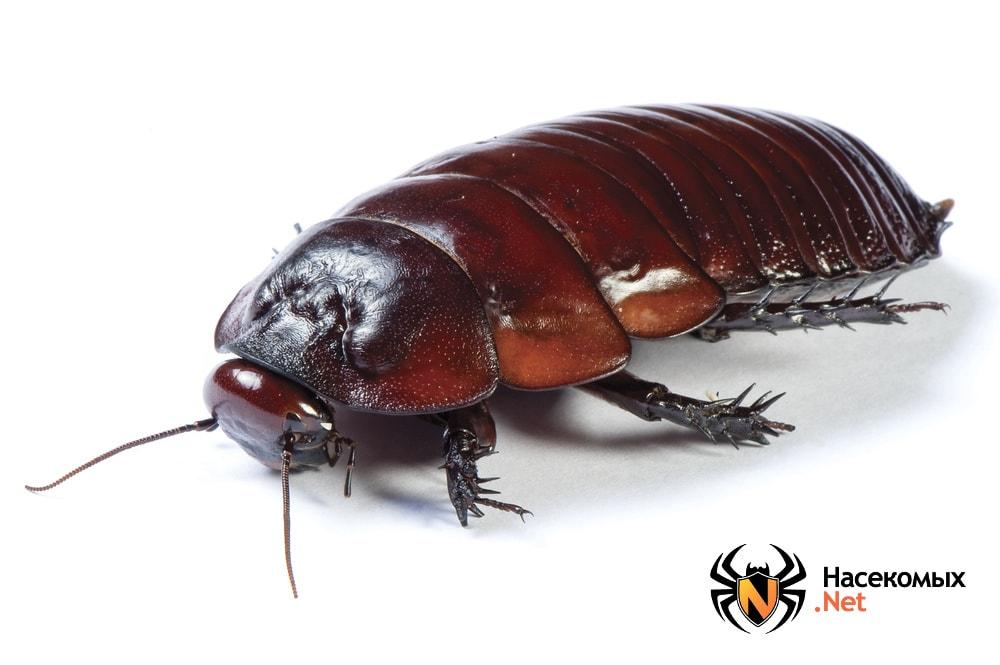 Как выглядит австралийский таракан