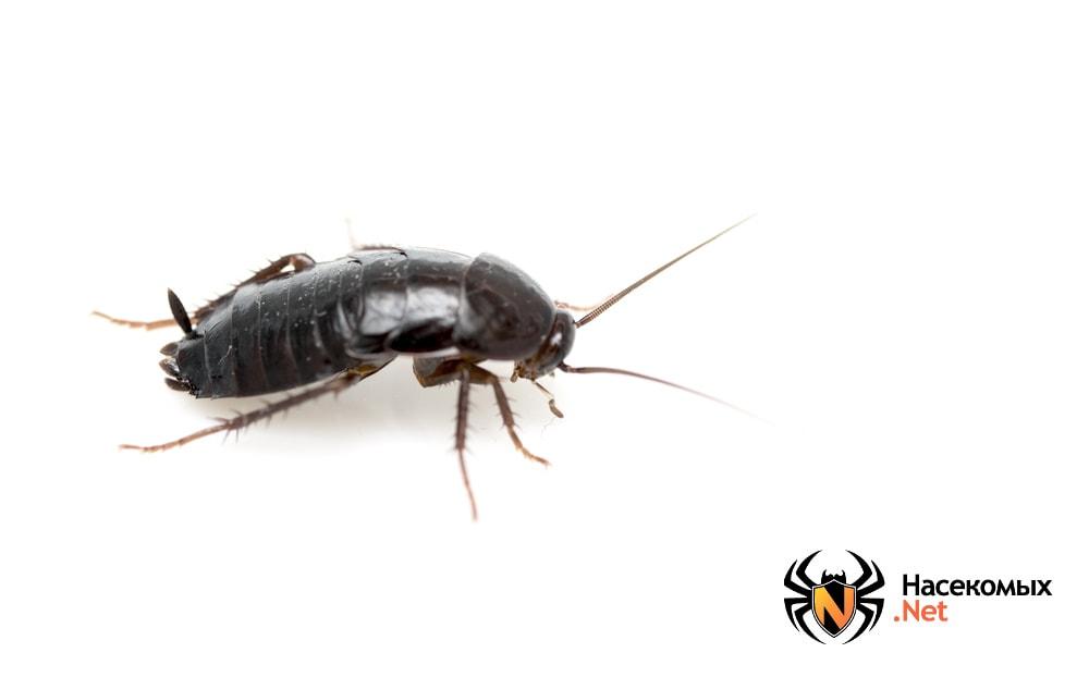 Как выглядит черный таракан