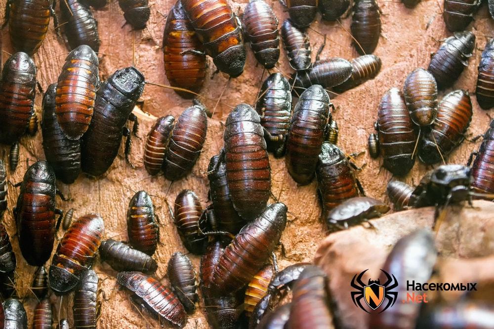 Мадагаскарские тараканы фото