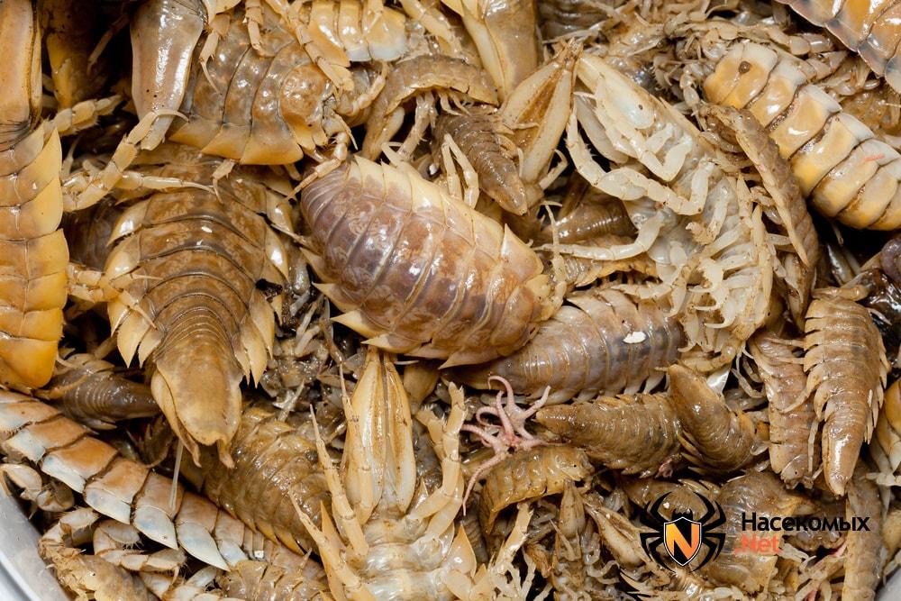 Морские тараканы