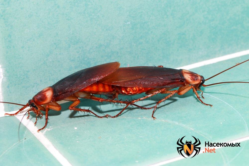 Спаривание тараканов