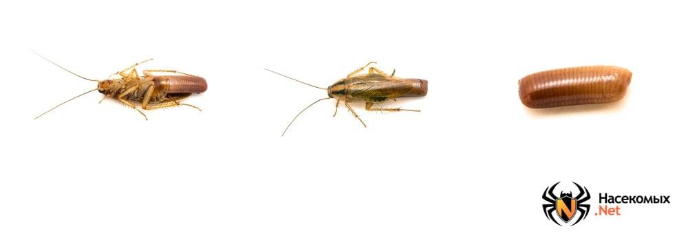 Стадии размножения тараканов