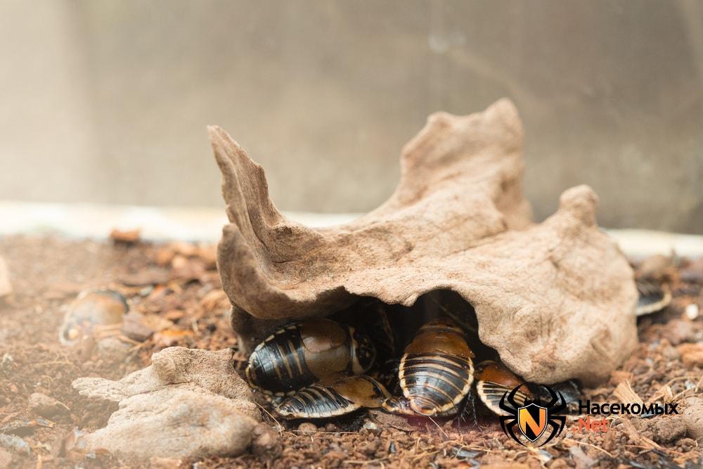 Таракан автомобильчик размножение